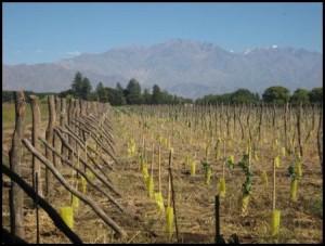 Vineyard at Uco Valley Estate