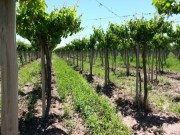 49.4 Acres of Vineyards behind the Zuccardi winery