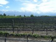 Vineyards in Vista Flores, Tunuyan - 4.5 Has (11 Acres)