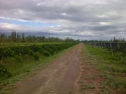 22 Has (54 Acres) of vineyards in Junín, Mendoza