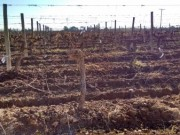 19 Has (47 Acres) of vineyards in Rivadavia, Mendoza